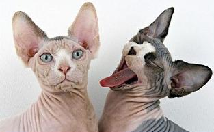 Sphynx Cat clipart #5, Download drawings
