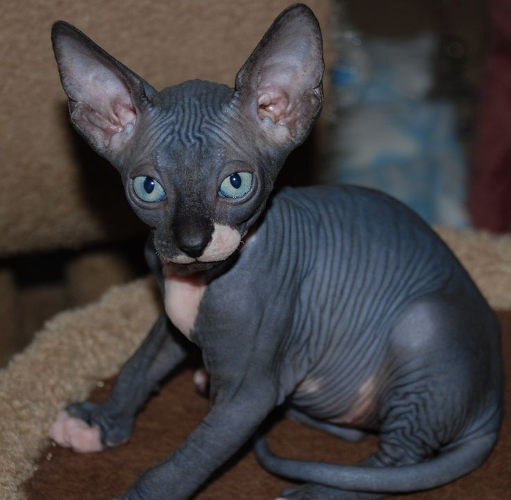 Sphynx Cat coloring #19, Download drawings