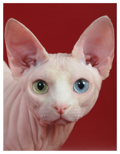 Sphynx Cat coloring #11, Download drawings