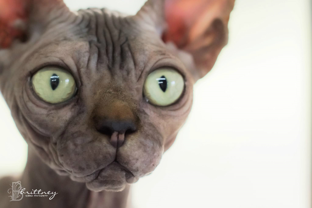 Sphynx Cat coloring #20, Download drawings