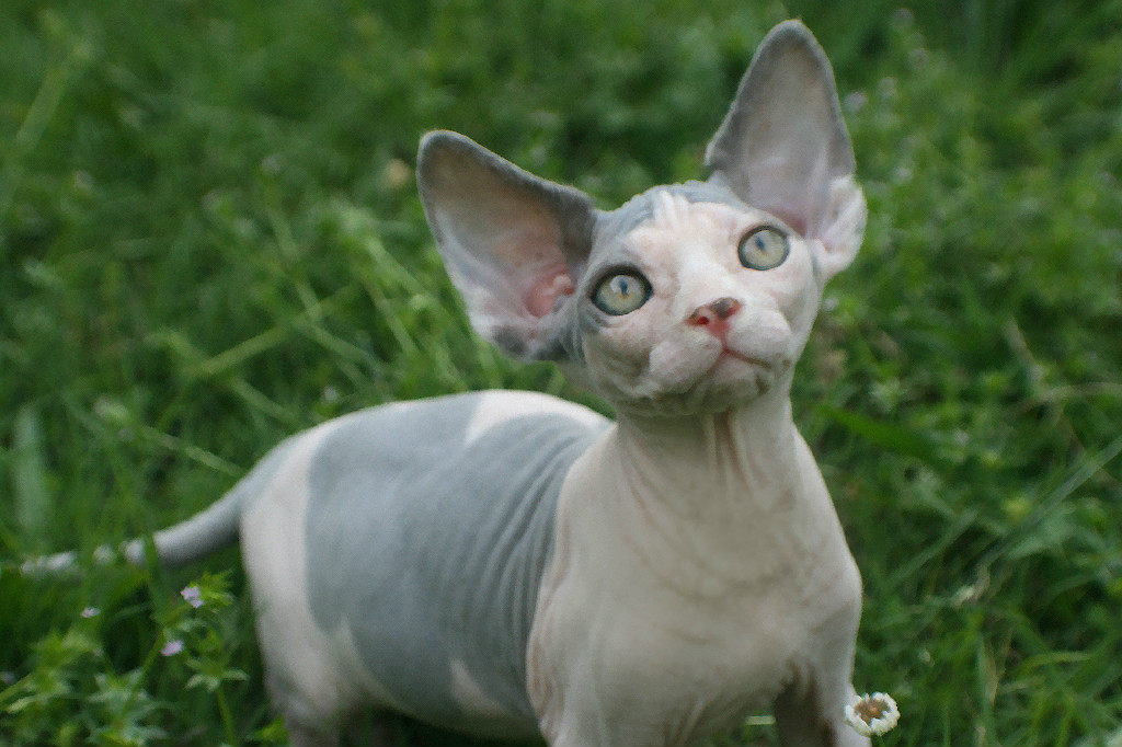Sphynx Cat coloring #9, Download drawings