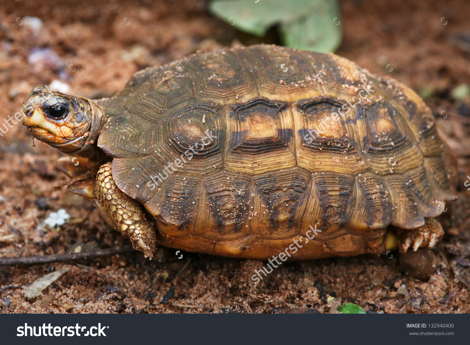 Spider Tortoise clipart #10, Download drawings
