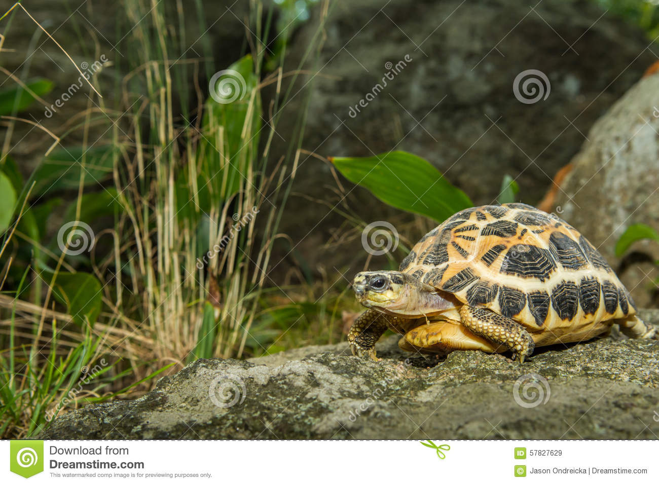 Spider Tortoise clipart #9, Download drawings