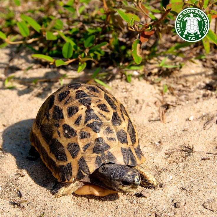 Spider Tortoise clipart #3, Download drawings