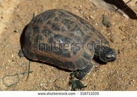 Spider Tortoise clipart #12, Download drawings