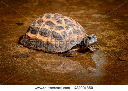 Spider Tortoise clipart #7, Download drawings