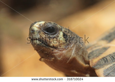 Spider Tortoise clipart #2, Download drawings