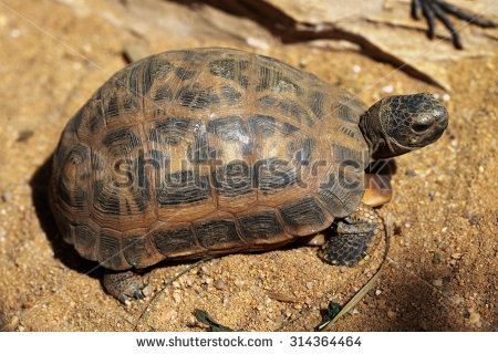 Spider Tortoise clipart #8, Download drawings