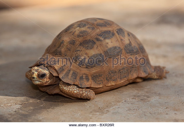 Spider Tortoise clipart #6, Download drawings