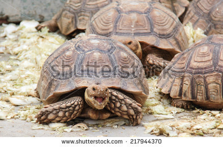 Spider Tortoise clipart #1, Download drawings