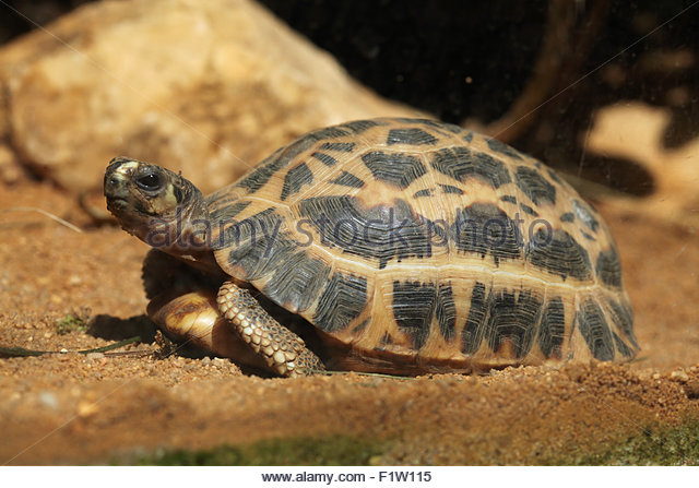 Spider Tortoise clipart #4, Download drawings