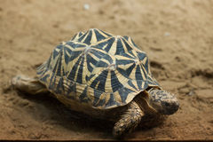 Spider Tortoise clipart #20, Download drawings