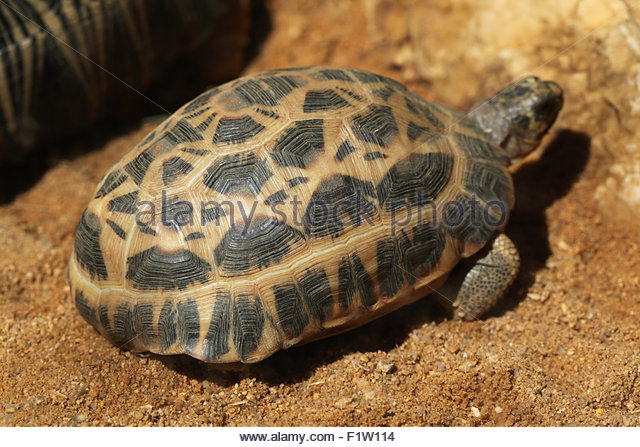 Spider Tortoise clipart #5, Download drawings