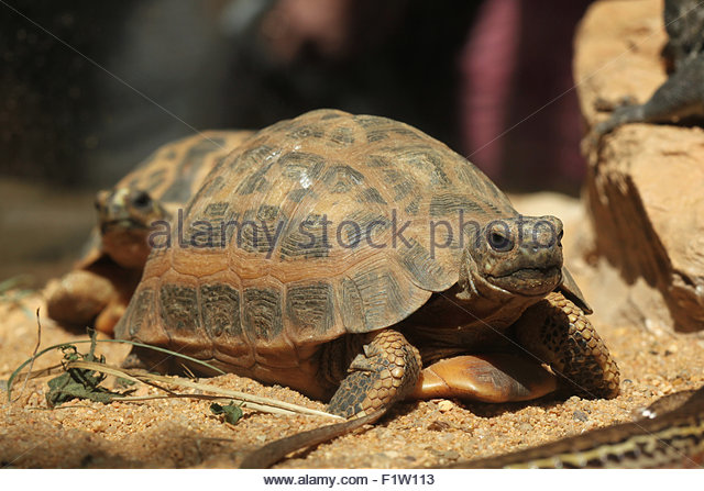 Spider Tortoise clipart #14, Download drawings