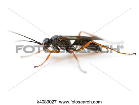Spider Wasp clipart #19, Download drawings