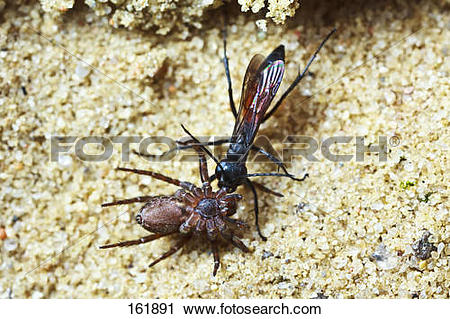 Spider Wasp clipart #16, Download drawings