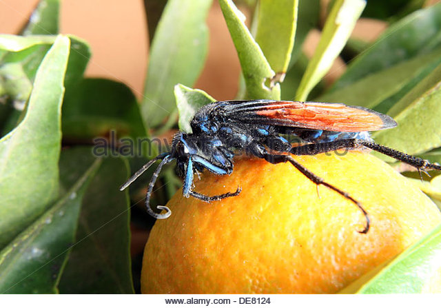 Spider Wasp clipart #14, Download drawings