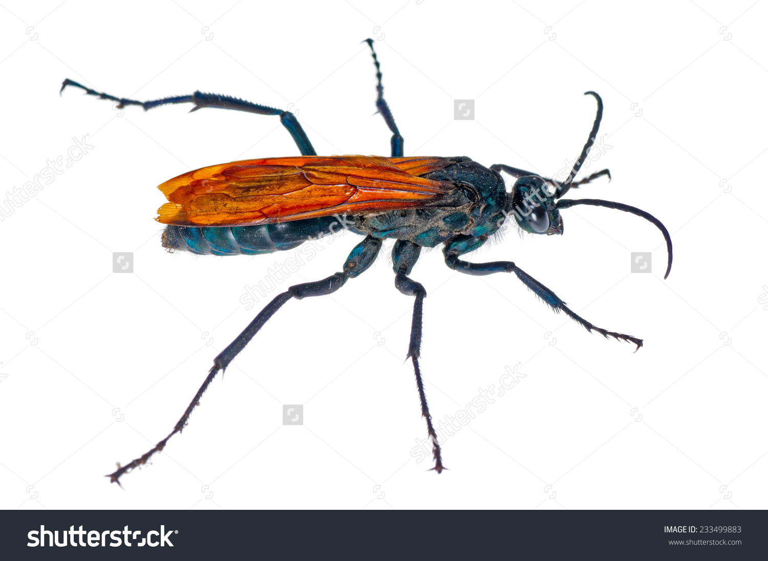 Spider Wasp clipart #11, Download drawings