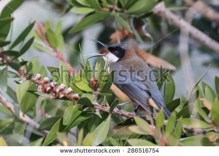 Spinebill clipart #6, Download drawings
