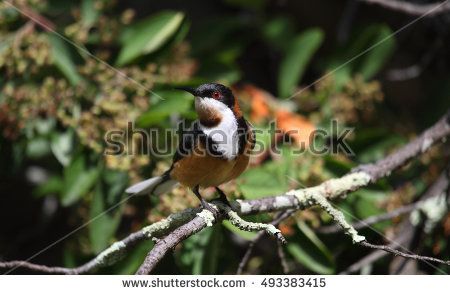 Spinebill clipart #14, Download drawings