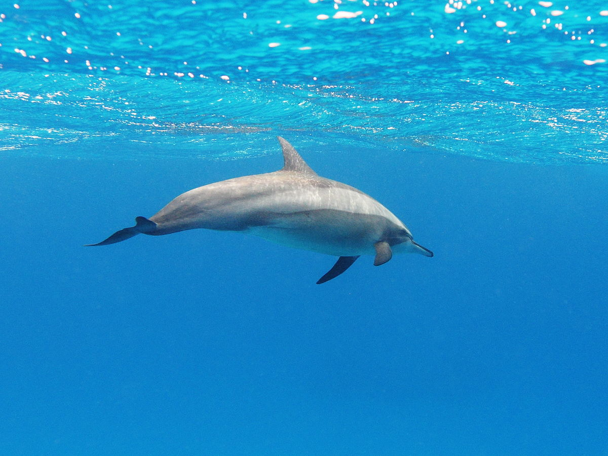 Spinner Dolphin svg #16, Download drawings
