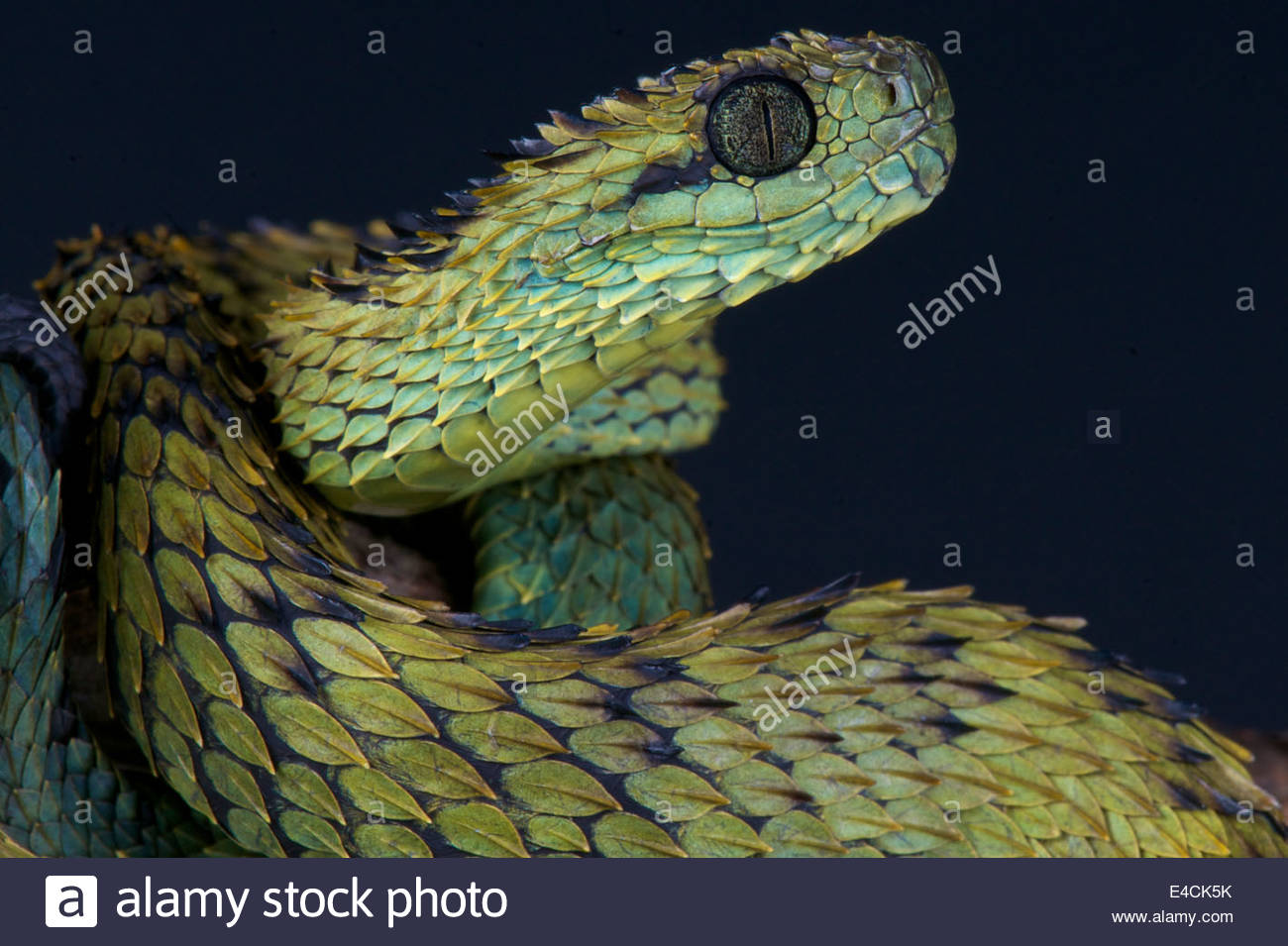 Spiny Bush Viper clipart #14, Download drawings