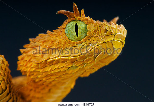 Spiny Bush Viper clipart #15, Download drawings