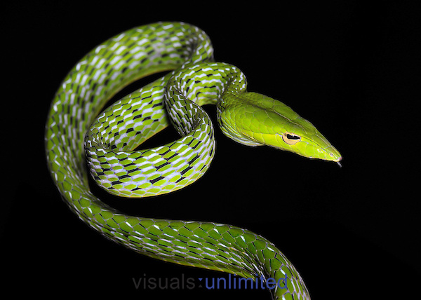 Spiny Bush Viper clipart #1, Download drawings