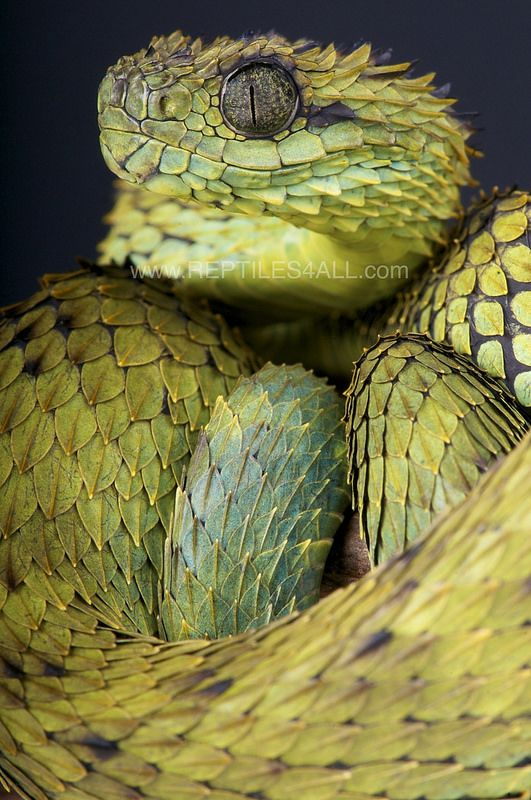 Spiny Bush Viper clipart #2, Download drawings
