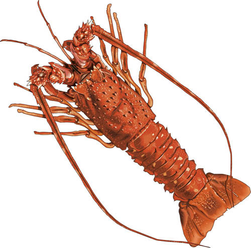 Spiny Lobster clipart #3, Download drawings