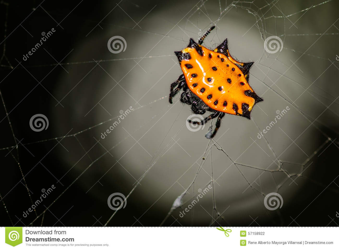 Spiny Orb Weaver clipart #12, Download drawings