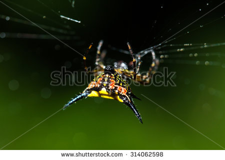 Spiny Orb Weaver clipart #16, Download drawings