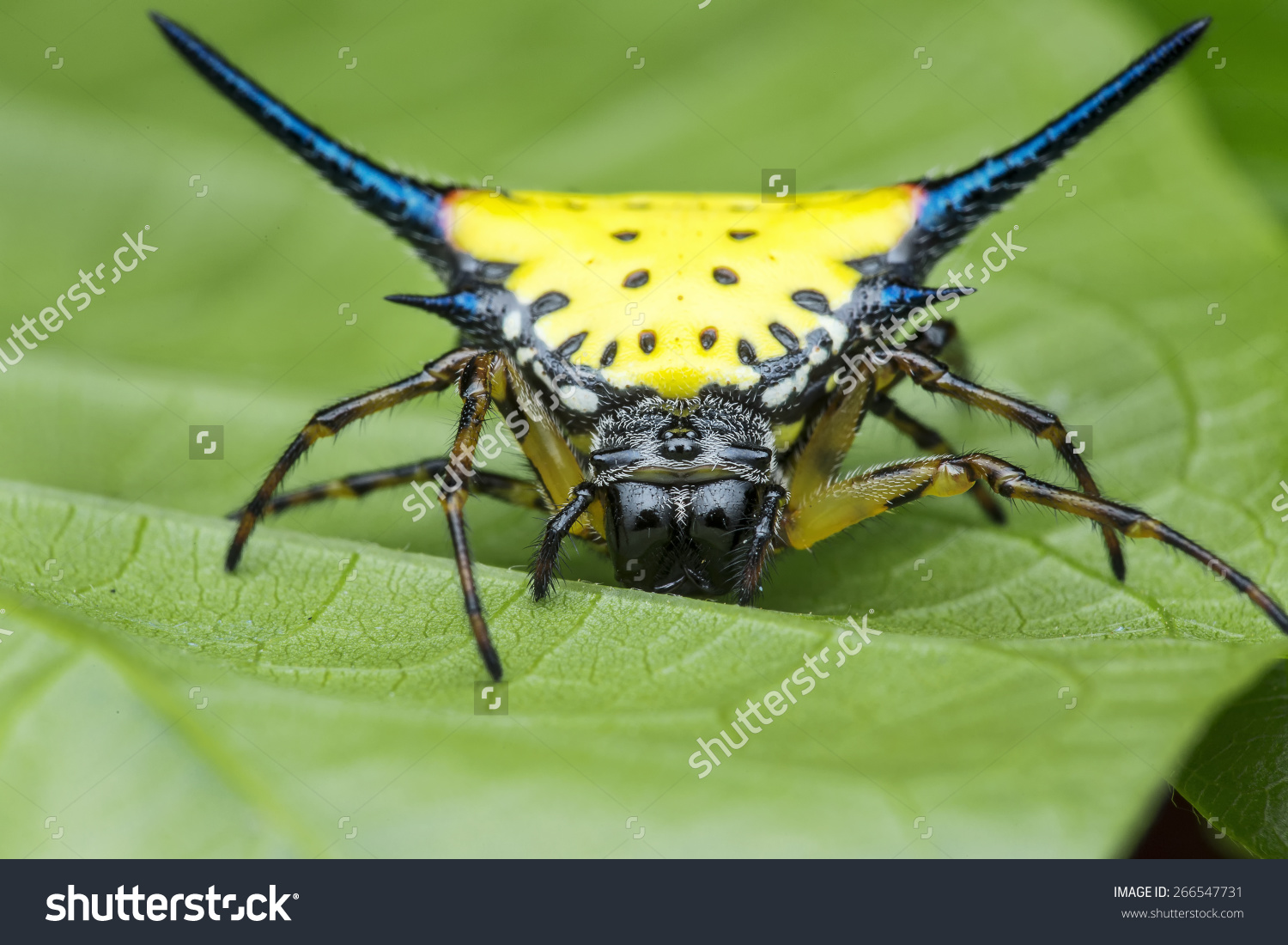 Spiny Orb Weaver clipart #8, Download drawings