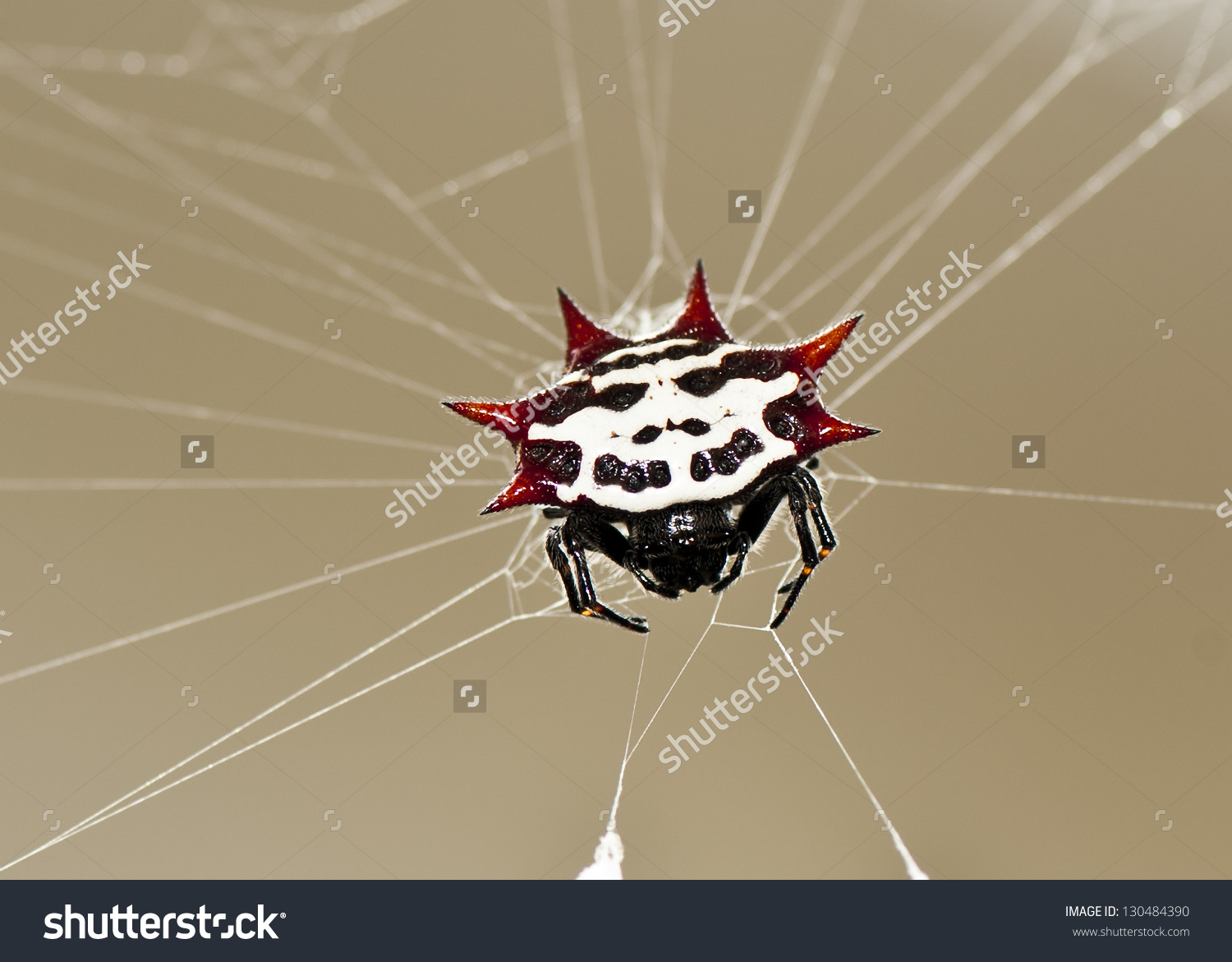 Spiny Orb Weaver clipart #7, Download drawings