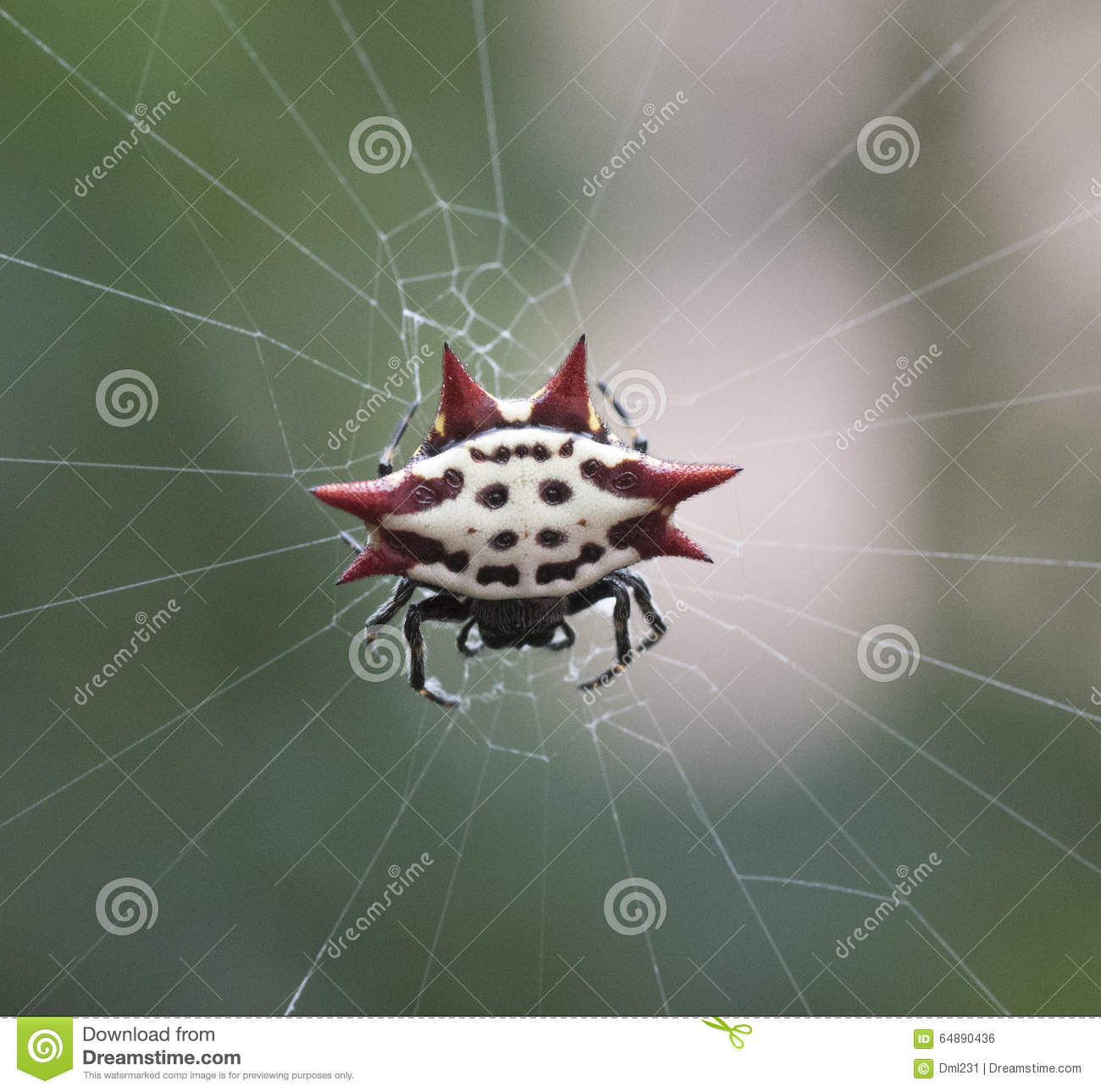 Spiny Orb Weaver clipart #17, Download drawings