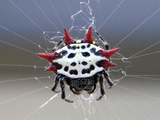 Spiny Orb Weaver coloring #9, Download drawings