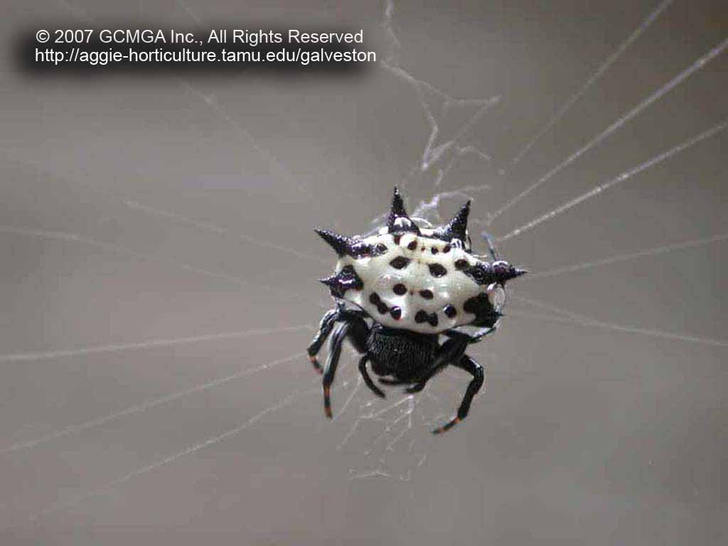 Spiny Orb Weaver coloring #5, Download drawings