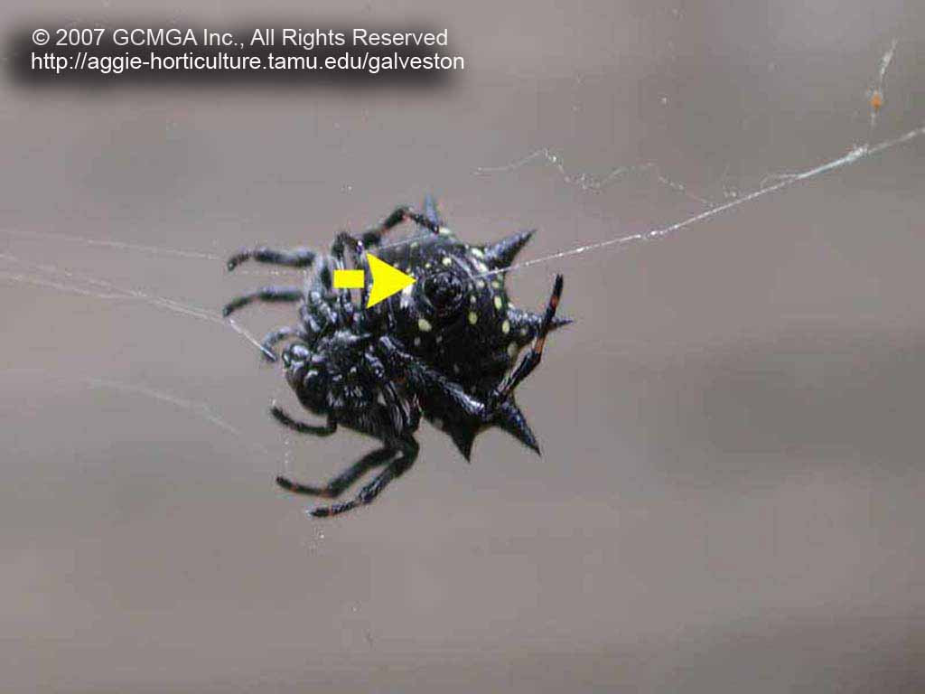 Spiny Orb Weaver coloring #11, Download drawings