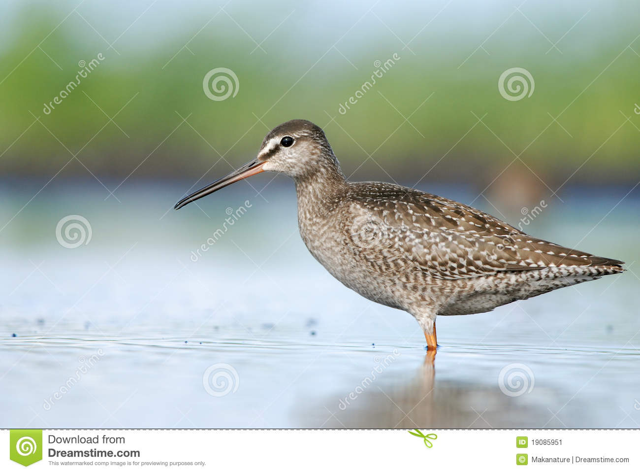 Spotted Redshank clipart #20, Download drawings