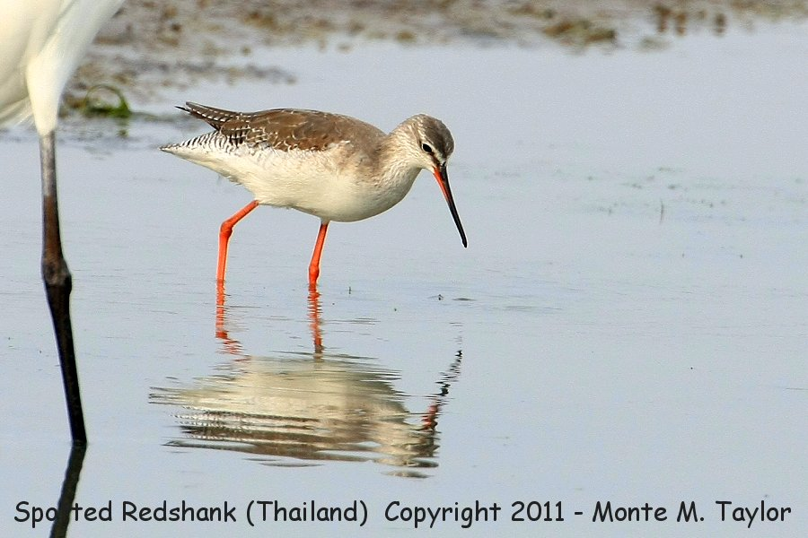 Spotted Redshank clipart #14, Download drawings