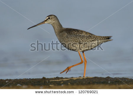 Spotted Redshank clipart #9, Download drawings
