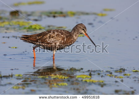Spotted Redshank clipart #2, Download drawings