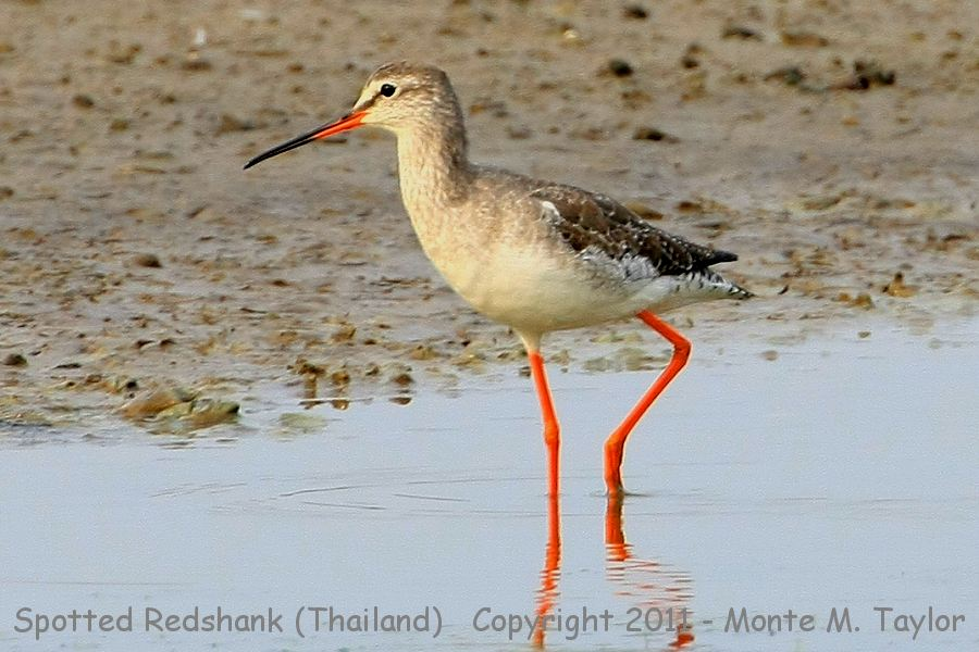 Spotted Redshank clipart #6, Download drawings