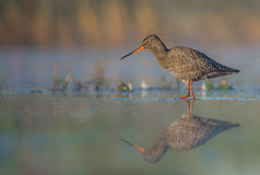 Spotted Redshank clipart #10, Download drawings