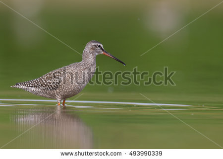 Spotted Redshank clipart #1, Download drawings