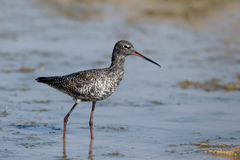 Spotted Redshank clipart #4, Download drawings