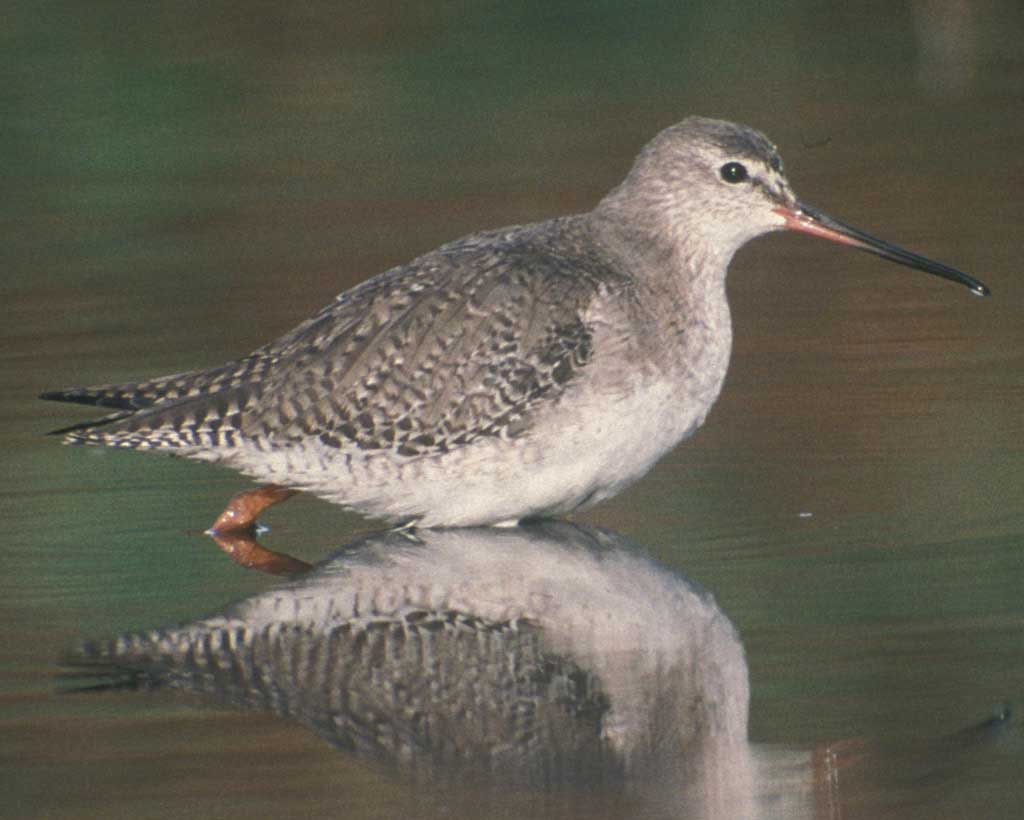 Spotted Redshank clipart #3, Download drawings