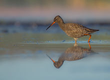 Spotted Redshank clipart #7, Download drawings