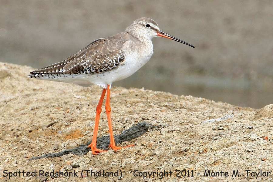 Spotted Redshank clipart #12, Download drawings