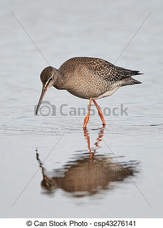 Spotted Redshank clipart #16, Download drawings